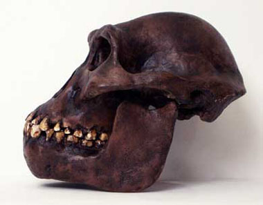Australopithecus afarensis skull side :: DNA Learning Center