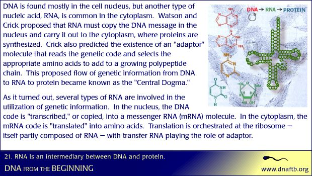 Concept 21: RNA is an intermediary between DNA and protein.