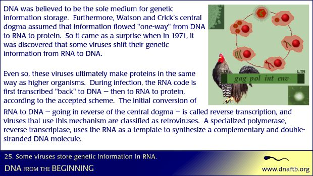 Concept 25: Some viruses store genetic information in RNA.