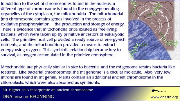 Higher cells incorporate an ancient chromosome.