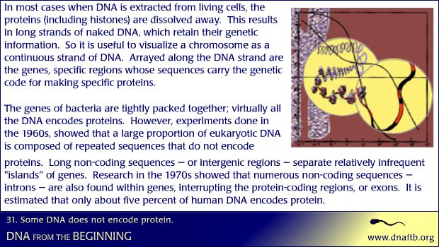 Some DNA does not encode protein.