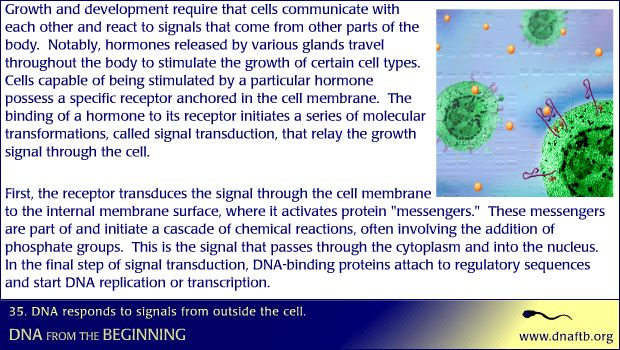 Concept 35: DNA responds to signals from outside the cell.