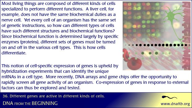 Concept 36: Different genes are active in different kinds of cells.