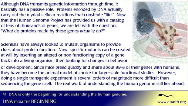 Concept 41: DNA is only the beginning for understanding the human genome.